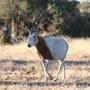 Schimitar Oryx